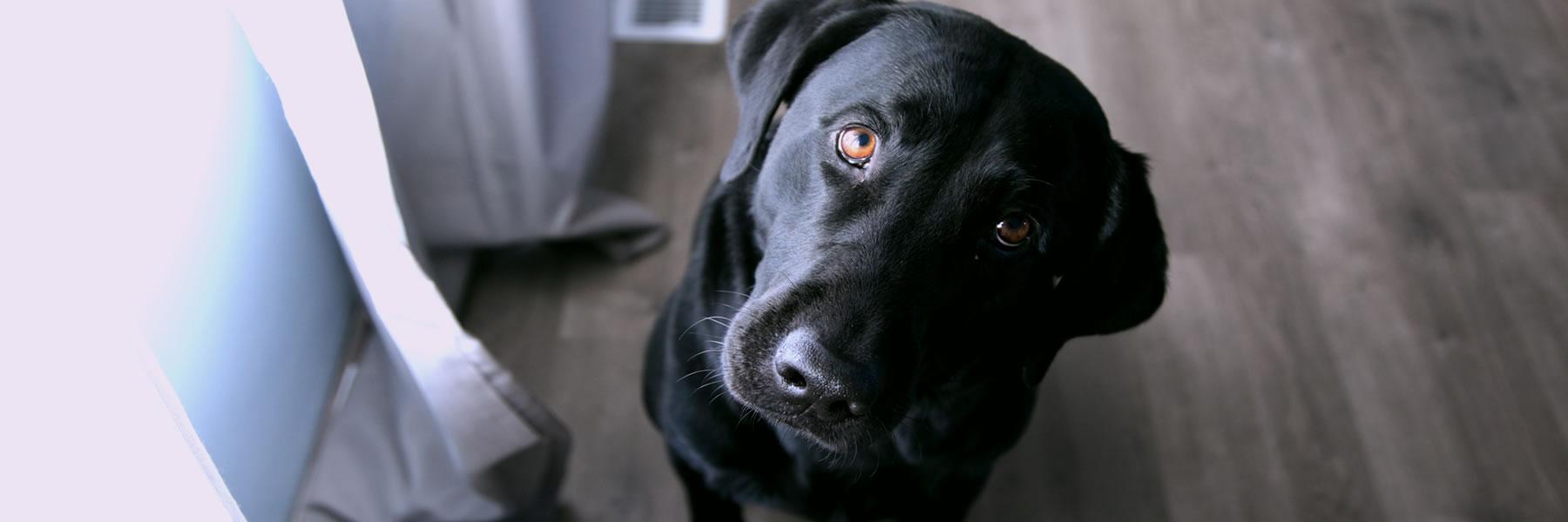 Jax's Labrador Retriever Rescue | Not Just Labs!
